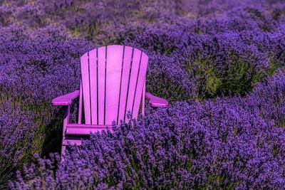 RoniChastain-Lavender fields