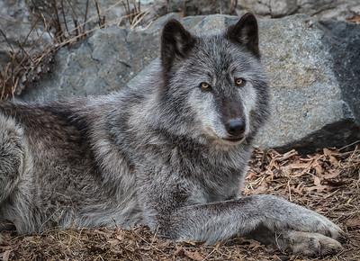 TomCrosley-WolfRelaxing