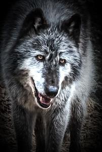 TomCrosley-Wolf