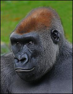 sunil chhatpar-gorilla