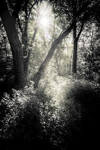 V Ed Sunlight Thru the Trees- Ed Engel ipg