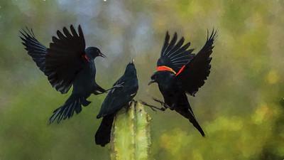 Tom Crosley - Red Winged Blackbirds