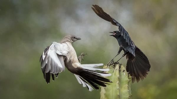 Tom Crosley - Mockingbird vs Blackbird