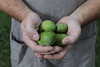 Mike Costello hold paw-paws at Lost Creek Farm.<br /> 34546 WVU Food Story<br /> WVU Photo/ Raymond Thompson<br /> WVU Magazine