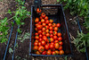 A worker harvest tomato's at Sprouting Farm in Talcott, WV.<br /> 34546 WVU Food Story<br /> WVU Photo/ Raymond Thompson<br /> WVU Magazine