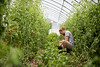 A worker harvest basil at Sprouting Farm in Talcott, WV.<br /> 34546 WVU Food Story<br /> WVU Photo/ Raymond Thompson<br /> WVU Magazine