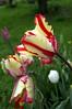 Tulipa 'Flaming Parrot' (tulip)