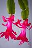 Schlumbergera (Christmas cactus)