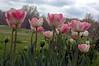 Tulipa (tulips)