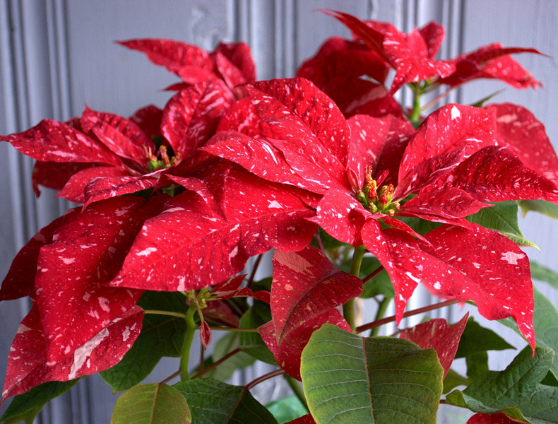 Poinsettia 'Jingle Bells'