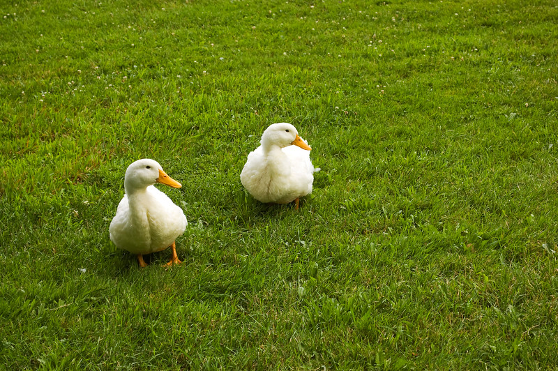 yard with ducks