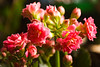 kalanchoe, double pink