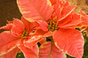 poinsettia, coral and cream