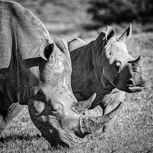 A Pair Of White Rhinoceros