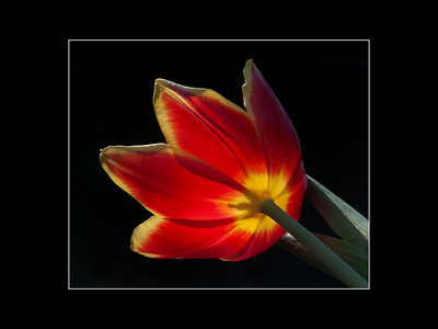 1st Place - Tulip by Ron Harris