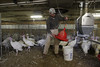 WVU Davis College poultry researchers work with Turkeys at the WVU Poultry Farm, March 2012. (WVU Photo/Mark Brown)