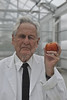 WVU emeritus professor Mannon Gallegly poses with his heirloom tomato at the WVU Davis College greenhouse September 2012. (WVU Photo/Brian Persinger)