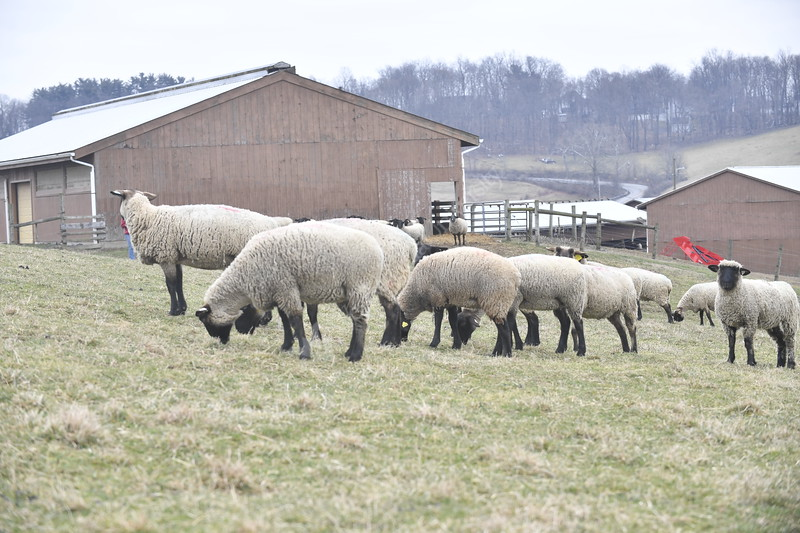 Animals are photographed on the Animal Science Farm January 30th, 2020.  (WVU Photo/Brian Persinger)