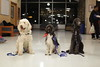 WVU's therapy dogs gather at Bennett Towers to greet students. The dogs are, from left, Marlon Brando, Gretel and Omega. Photo by Scott Lituchy / West Virginia University