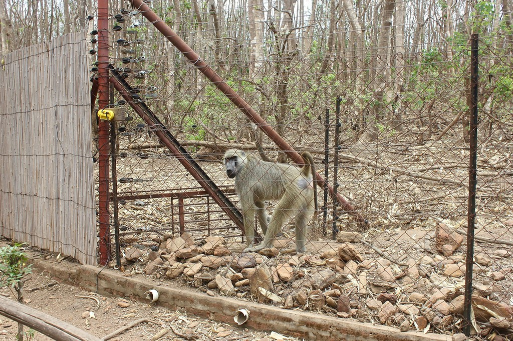 a baboon at Lilongwe Wildlife Centre that had been rescued from the illegal pet trade (LWC is an amazing facility!)