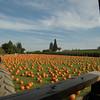 Lots o' pumpkins, begging for homes!
