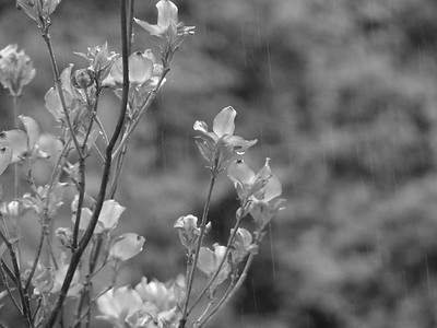 dogwood and rain