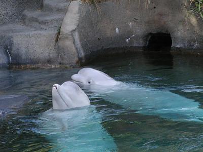 beluga whales 1