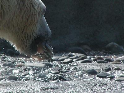 polarbear snack