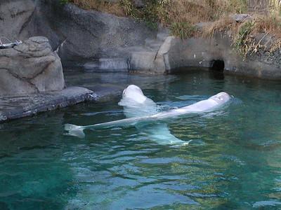 beluga whales 2