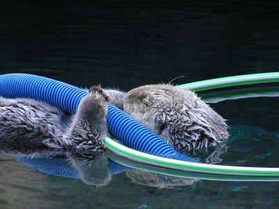 otter, sleeping with toys