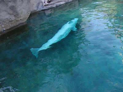 beluga whales 6