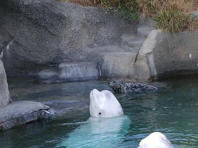 beluga whales 4
