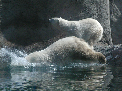 polarbear, midsplash