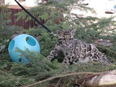 clouded leopard 4