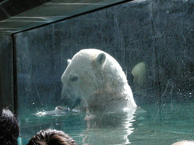 polarbear
