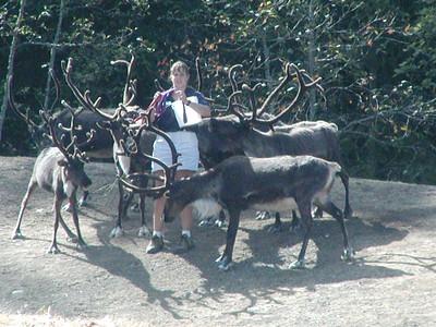 reindeer feeding time