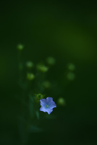 blueflax01