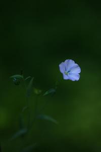 blueflax02