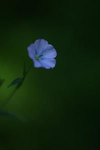blueflax03