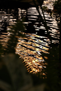 goldenripples