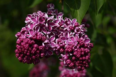 lilac01