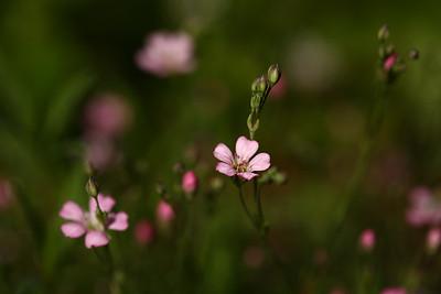 gypsophila1
