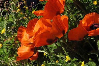 orangepoppy02