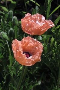 pinkpoppy02