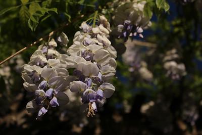wisteria03