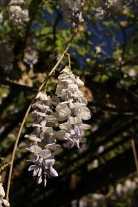 wisteria04