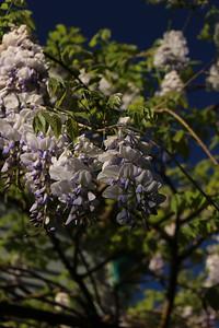 wisteria02