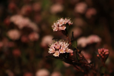 Physocarpus opulifolius 'Little Devil'