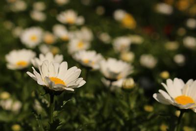 FW_daisy