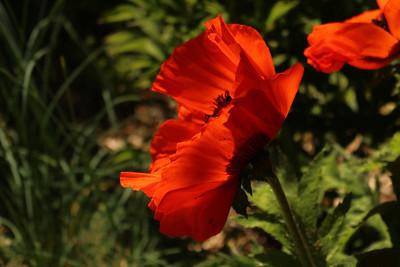 poppy03